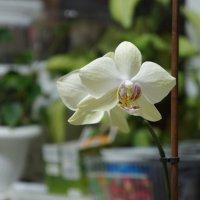 Орхидея :: наталья грачева