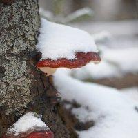 Зимние грибы...) :: Сергей