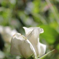 Солнце, пронизывающее розу. :: Ирина Овчинникова