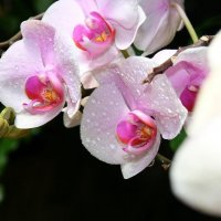 Орхидейка :: Алина Троицкая