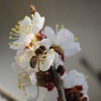 Пчела. :: Руслан Грицунь