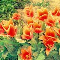 Тюльпаны... :: Сергей Рудой