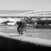 голубь на набережной :: Юлия Левикова