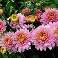Мои 6 соток (Хризантемы) :: Viacheslav