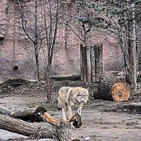 Волк. :: владимир