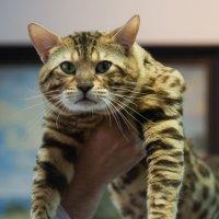 домашний леопард (бенгальский кот) :: Виктория Бузник