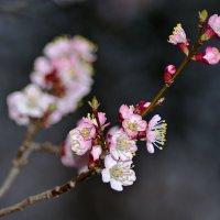 Пора цветения деревьев. Абрикос. :: Александр Крупский
