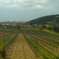 виноградники Торреса :: liudmila drake