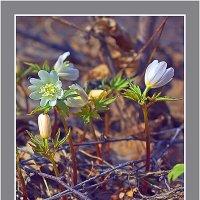 Апрельские первоцветы :: Сергей Черных