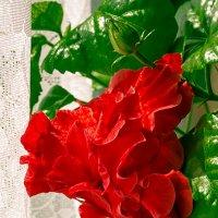 китайская роза :: Светлана Шаповалова
