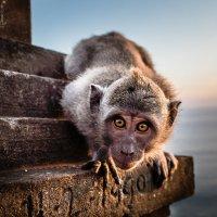 Индонезийская обезьянка :: Творческая группа КИВИ