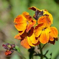 Дикие цветы :: Елена Залерцева
