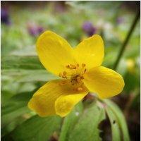 Весенний цветок :: Евгений Кочуров