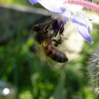 Пчела :: Michael V. Beltyukov