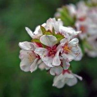 весенее цветение :: юрий иванов