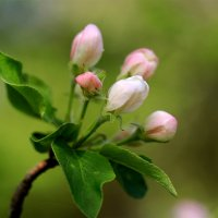 Лучше нету того цвету, когда яблоня цветет... :: Нилла Шарафан