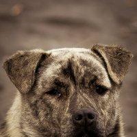 Пёс :: Артур Натур)