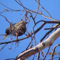 Скворец гнездо строит :: Vladikom