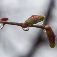 весенний дождик :: Sergey Bagach