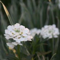 цветы :: Мария Федорова
