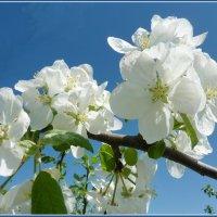 Цвет яблони :: Валерий Талашов