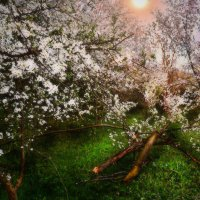 закат над ткемалевым садом :: Olga Zhukova
