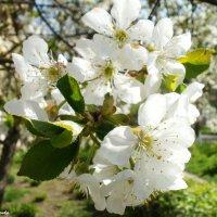 весна прекрасна :: Анна Руденко