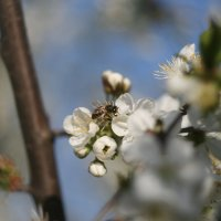 Весна пришла, цветут сады. :: Владимир Боровков