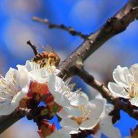 Где цветок, там и медок. :: Юрий Гайворонский