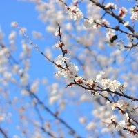 Цветет влюблённый абрикос :: Юрий Гайворонский
