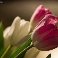 Тюльпаны :: Alexandr Kotovsky