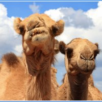 Конкурс верблюжьей красоты :: Евгений Печенин