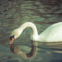 Лебедь :: Алексей Гончаров