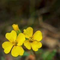 Chorispora sibirica - Хориспора сибирская (2-е фото) :: Денис Соломахин