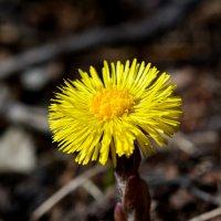 первый весенний цветок :: Геннадий Ячменев