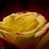 желтая роза-1 :: Денис Мясников