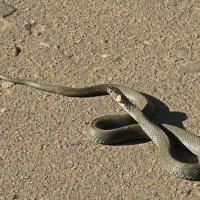 Первая змея в этом году. :: Sergey Serebrykov