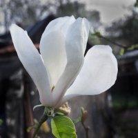 Первый цветок магнолии. Финал наблюдений за бутоном. :: Александр Крупский