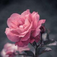Розовая роза. :: Анна Тихомирова