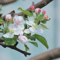 Яблоневый цвет :: Ann Kalashnik