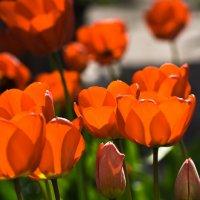 Мамины тюльпаны :: Александр Крупский