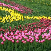 Выставка тюльпанов :: Сергей Рубан