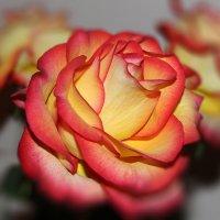 Роза :: Alex Ivanov