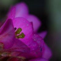 цветочки макро :: валерия