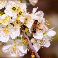 Черешни  цветут. :: Ольга Ламзина