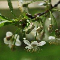 Дождливая вишня :: Юлия Талалай