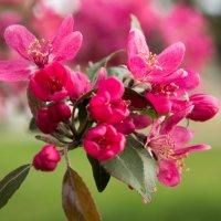 когда яблони цветут... :: Виктория Боровская