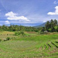 рисовые поля :: Galina G