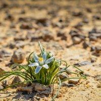 цветок пустыни :: maria sela