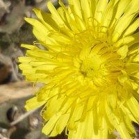 Цветок весны - одуванчик. :: юрий Амосов